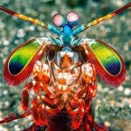 man.tis.shrimp